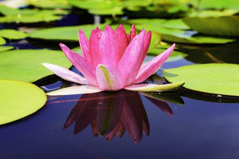 Den härliga lotusblommablomman är symbolet av Buddha royaltyfria bilder