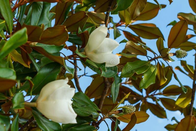 Den härliga magnolian blommar på bakgrund för blå himmel arkivbild