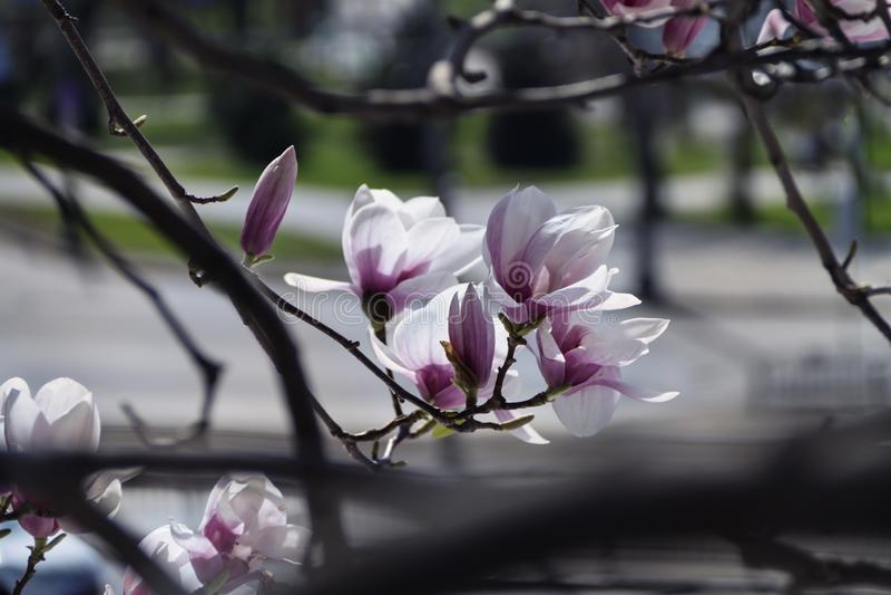 Den härliga magnolian i trädgården skapar ett bra lynne royaltyfri fotografi