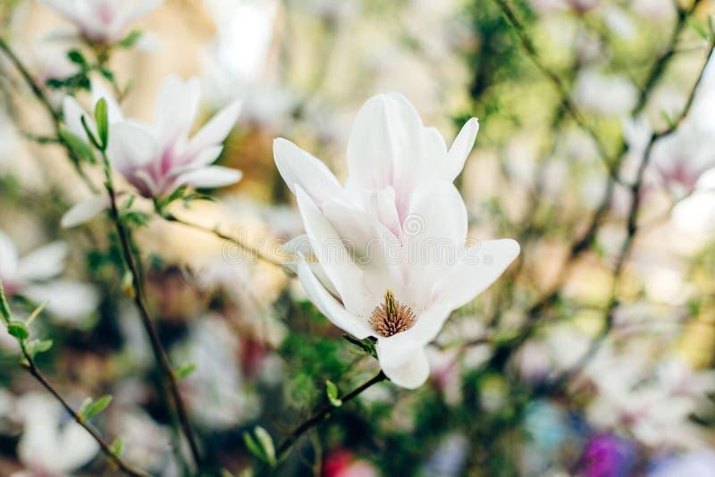 Den härliga magnoliarosa färgen blommar på filialer i soligt parkerar Tende royaltyfria foton