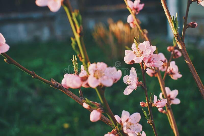 Den härliga mjuka rosa aprikons blommar på ett vårträd på solnedgången fotografering för bildbyråer