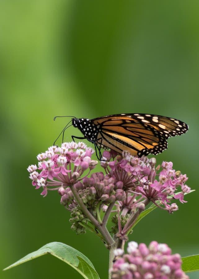 Den härliga monarkfjärilen sätta sig lågt ner på Milkweed royaltyfri fotografi