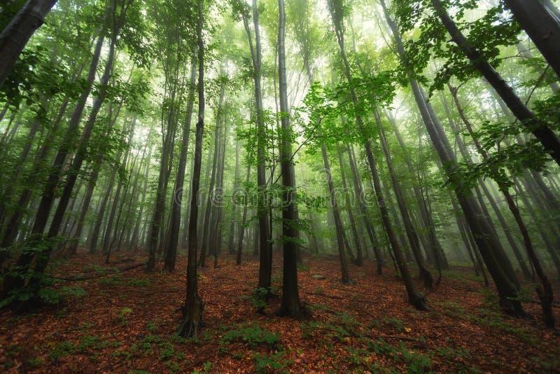 Den härliga naturen på morgonen i den dimmiga vårskogen med solen rays royaltyfri foto