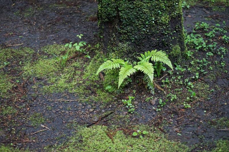 Den härliga naturliga nya gröna ormbunken lämnar att växa på trädstammen och fukt som malas med annan liten grön växt i fuktig sk arkivfoto