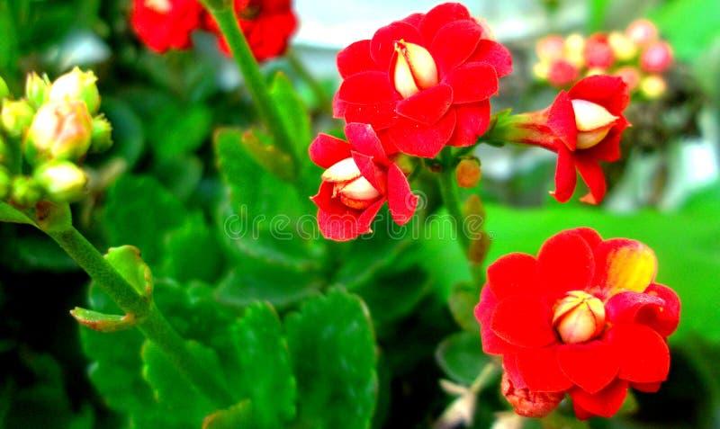 Den härliga och söta hemliga röda blomman royaltyfria bilder