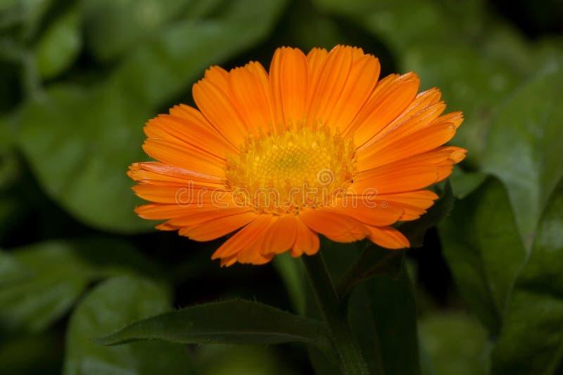 Den härliga orange calendulaen växer på en äng Levande natur arkivbild