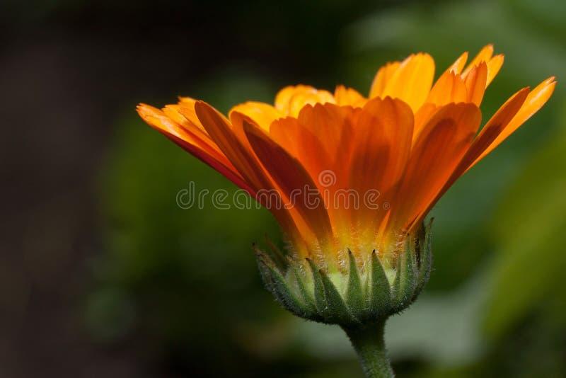 Den härliga orange calendulaen växer på en äng Levande natur fotografering för bildbyråer