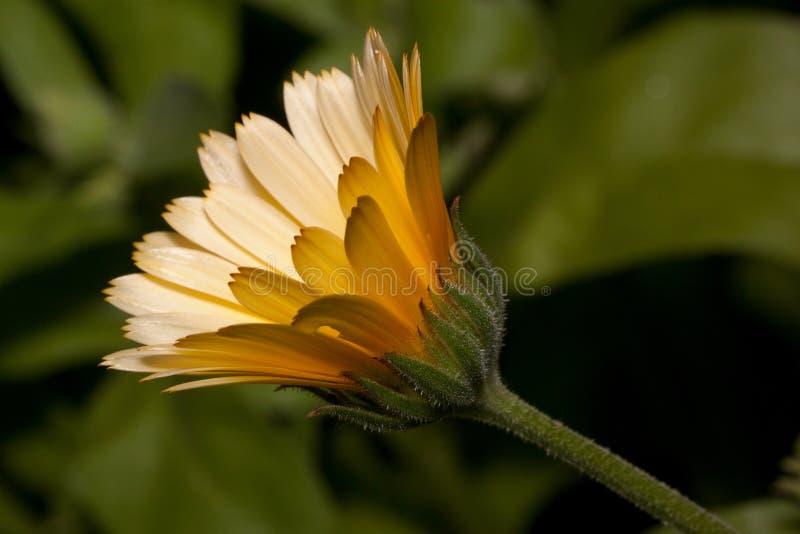 Den härliga orange calendulaen växer på en äng Levande natur royaltyfri bild
