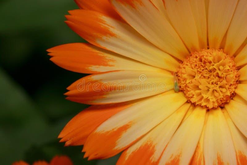 Den härliga orange calendulaen växer på ett ängslut upp Levande natur royaltyfri fotografi