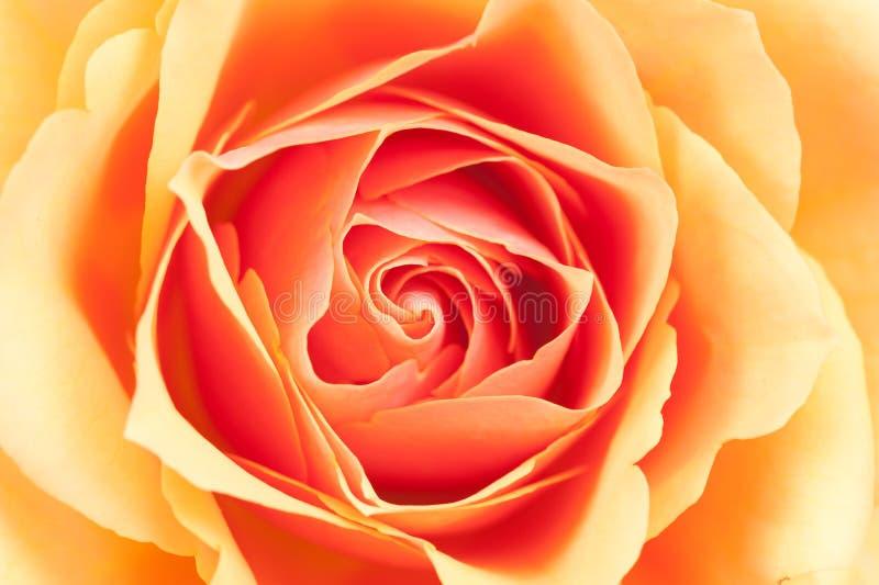 den härliga orangen steg royaltyfria bilder