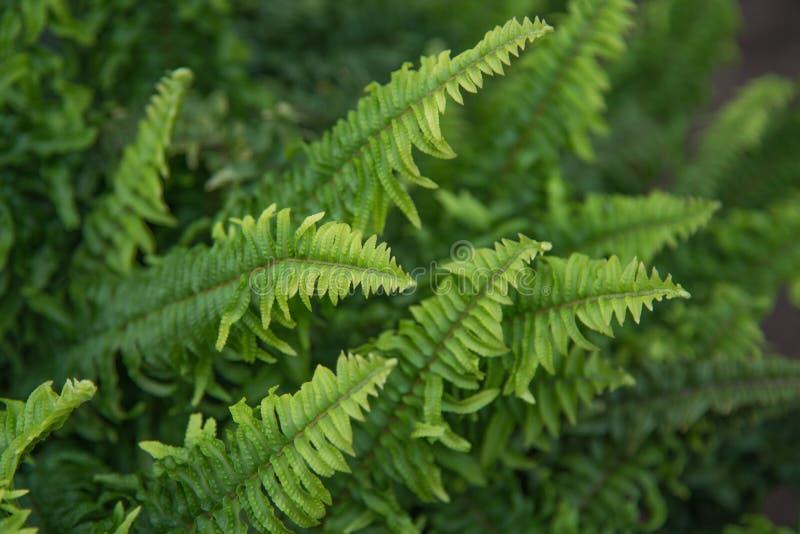 Den härliga ormbunken lämnar grön lövverk i en trädgård Naturlig blom- ormbunkebakgrund fotografering för bildbyråer