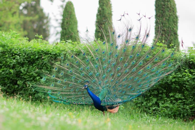 Den härliga påfågeln med den skinande blått- och gräsplanfjädern rullar på en äng royaltyfri foto