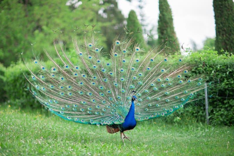 Den härliga påfågeln med den skinande blått- och gräsplanfjädern rullar på en äng royaltyfri bild