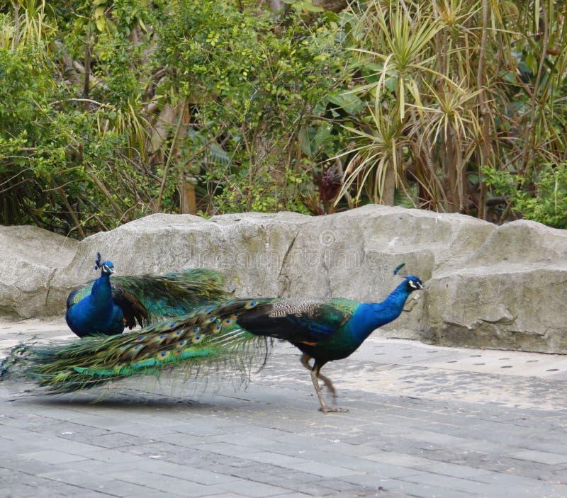 Den härliga påfågeln, peafowlen, fågeln av Juno som in går, parkerar royaltyfri bild