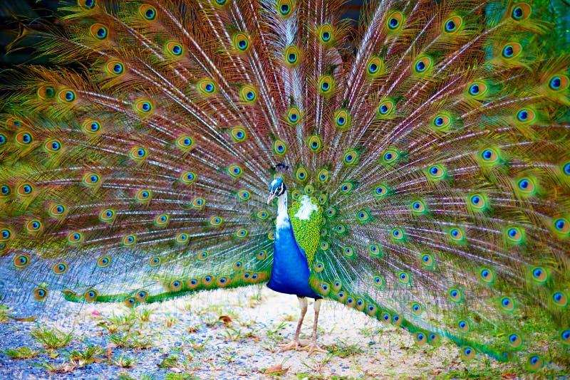 Den härliga påfågeln som visar det, är den ursnygga svansen royaltyfri fotografi
