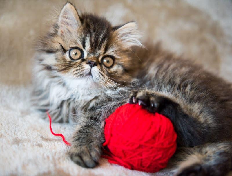 Den härliga persiska kattungekatten spelar med den röda bollen av att sticka arkivfoto