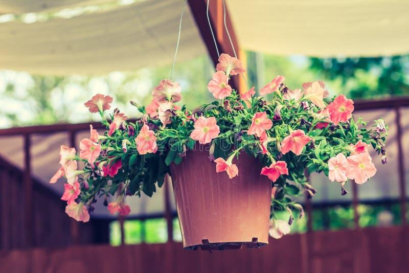 Den härliga petunian blommar i hängande blomkruka arkivbild