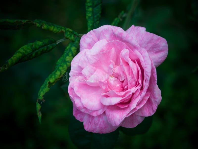 den härliga pinken steg fotografering för bildbyråer