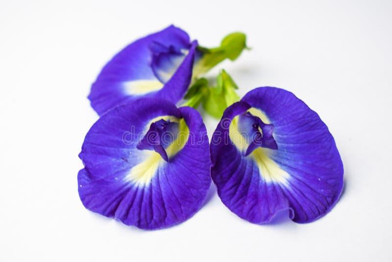 Den härliga purpurfärgade blomman, stänger sig upp fjärilen Pea Flower på vit bakgrund arkivbild