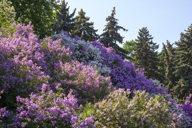 Den härliga purpurfärgade lilan blommar utomhus royaltyfri foto