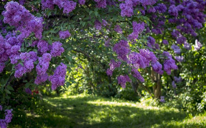 Den härliga purpurfärgade lilan blommar utomhus arkivfoto