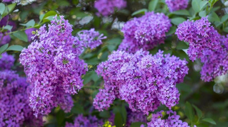 Den härliga purpurfärgade lilan blommar utomhus royaltyfria bilder