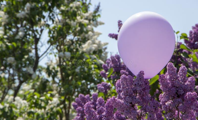 Den härliga purpurfärgade lilan blommar utomhus royaltyfria foton