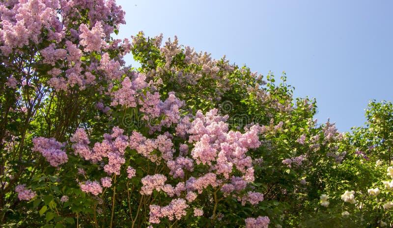 Den härliga purpurfärgade lilan blommar utomhus fotografering för bildbyråer