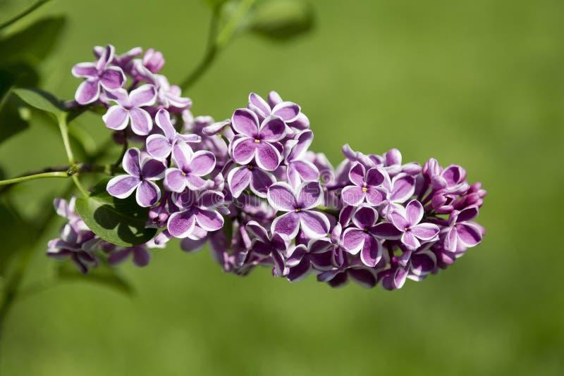 Den härliga purpurfärgade lilan blommar utomhus royaltyfri bild