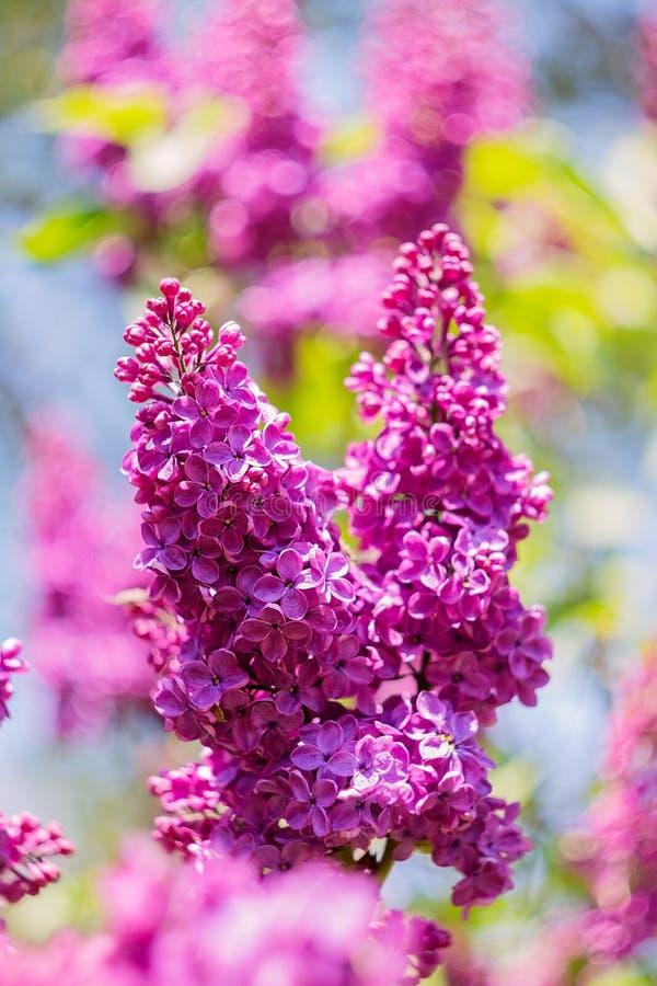 Den härliga purpurfärgade lilan blommar utomhus royaltyfri fotografi