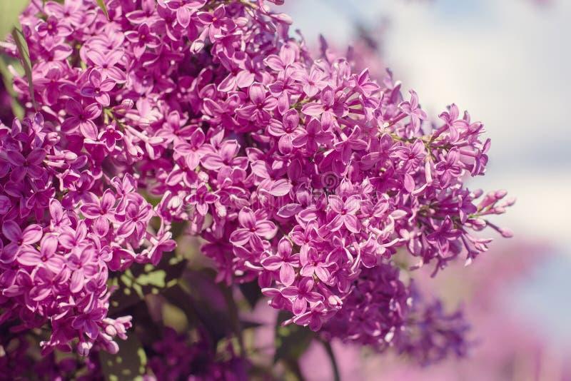 Den härliga purpurfärgade lilan blommar utomhus arkivfoton