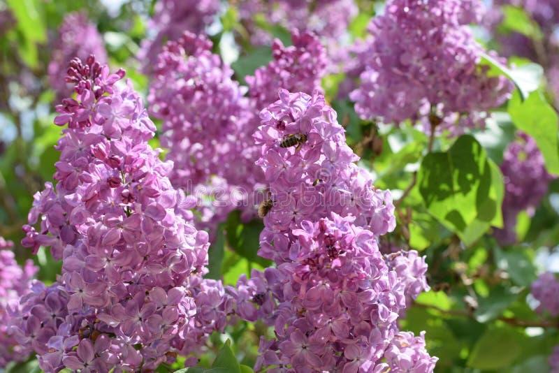 Den härliga purpurfärgade lilan blommar utomhus arkivbilder