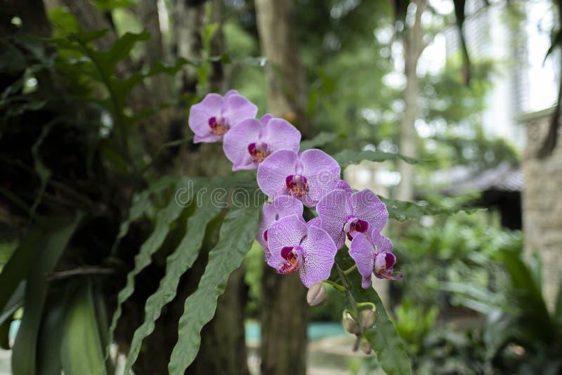 Den härliga purpurfärgade orkidén Anggrek Bulan på parkerar fotografering för bildbyråer