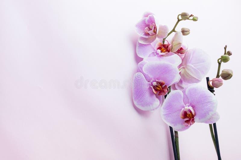 Den härliga purpurfärgade orkidén blommar på ljus bakgrund med copyspa arkivfoto