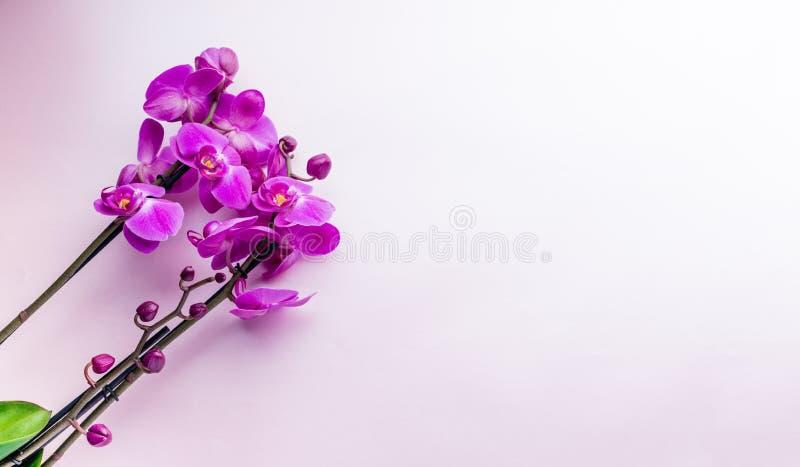 Den härliga purpurfärgade orkidén blommar på ljus bakgrund med copyspa arkivbild