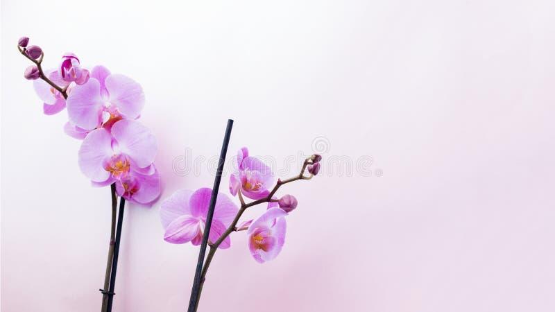 Den härliga purpurfärgade orkidén blommar på ljus bakgrund med copyspa royaltyfria foton