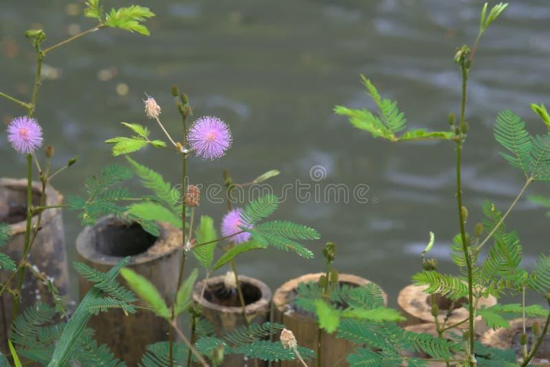 Den härliga purpurfärgade sunbursten blommar nära ett damm i Bangkok, Thailand arkivbilder