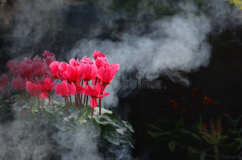 Den härliga röda begonian blommar i röken royaltyfria foton