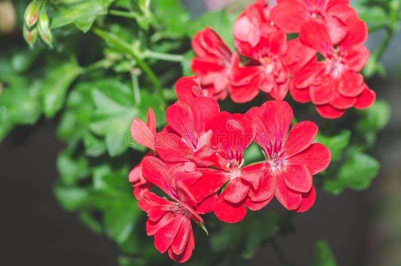 Den härliga röda eller rosa pelargonpelargonian blommar i trädgården med mjukt ljus och gröna växter som bakgrund, slut upp arkivfoto