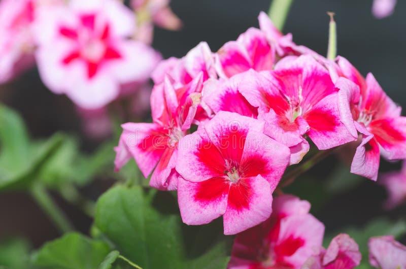 Den härliga röda eller rosa pelargonpelargonian blommar i trädgården med mjukt ljus och gröna växter som bakgrund, slut upp royaltyfria bilder