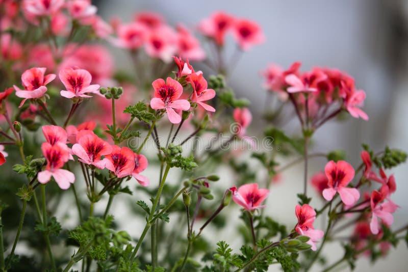 Den härliga röda pelargon blommar med fem kronblad royaltyfria bilder