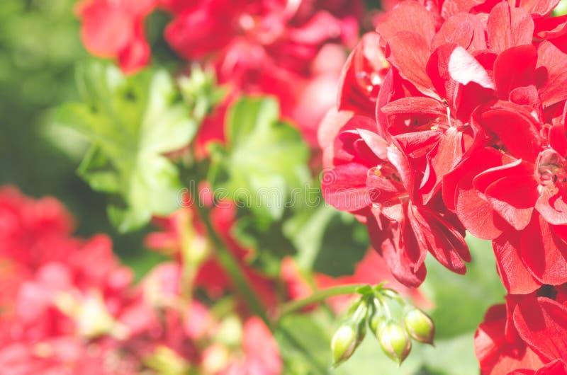 Den härliga röda pelargonpelargonian blommar i trädgården med mjukt ljus och gröna växter som bakgrund, slut upp royaltyfri bild