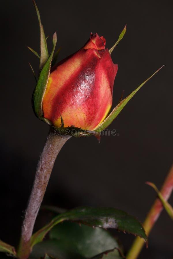 Den härliga röda rosen växer i en vårträdgård Unblown blomma royaltyfria foton
