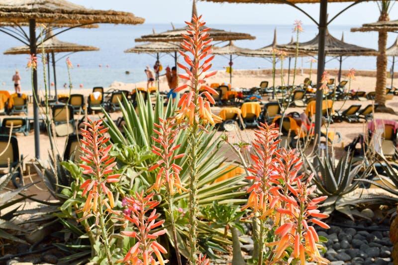 Den härliga röda växten, en blomma på bakgrunden av en sandig tropisk strand på semester, en tropisk semesterort med vit vikning  royaltyfria bilder