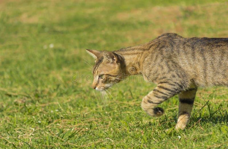 Den härliga randiga katten är på kringstrykandet i eftermiddagen fotografering för bildbyråer