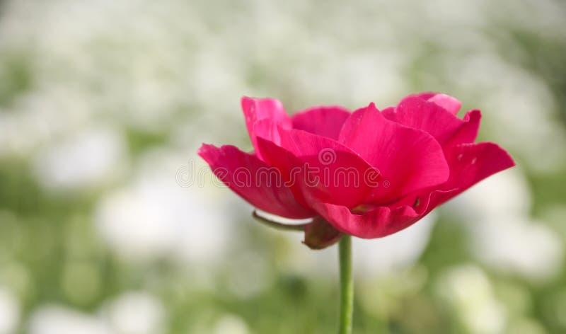 Den härliga Ranunculusblomman i ett fält blommar i ljus magentafärgad färg royaltyfri fotografi
