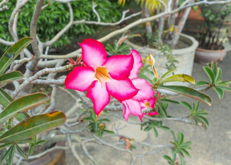Den härliga rosa Adeniumblomman, rosa färg blommar i trädgården arkivbild