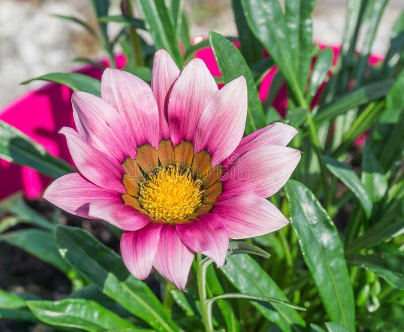Den härliga rosa färg- och lilatusenskönan blommar upp makroslut arkivfoto