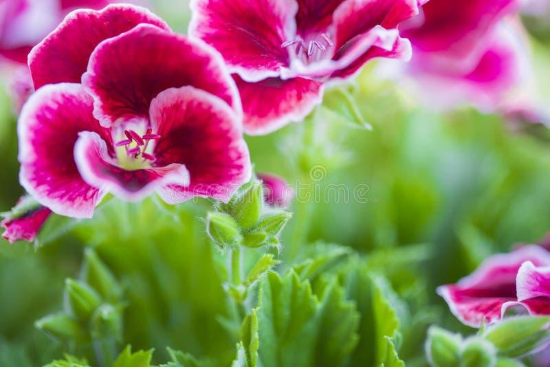 Den härliga rosa färg- och violetpelargon blommar i trädgården royaltyfri foto