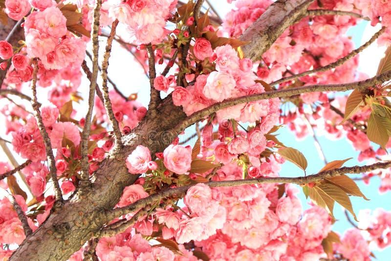 Den härliga rosa färgen blommar i det spanska mandelträdet royaltyfria bilder
